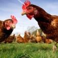 Минсельхоз ожидает полной самообеспеченности куриным пищевым яйцом в 2021 году