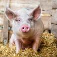 В России участились вспышки африканской чумы свиней